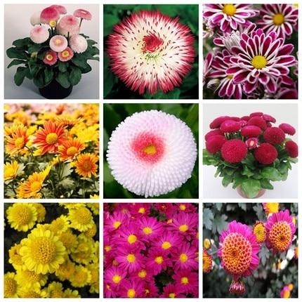 1000pcs  Beartifual Daisy Bonsai Plant Rare Rainbow  Chrysanthemum 9 Colors Mix Balcony For Home Garden Bonzai