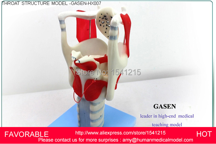 THROAT STRUCTURE FEATURES ,LARYNGEAL ANATOMY MODEL,MEDICAL ANATOMY MODELTHROAT ANATOMY ,LARYNGEAL ANATOMY MODEL -GASEN-HX007 laryngeal anatomy model throat anatomy medical anatomy model medical supplies of laryngeal structure model gasen ebh010