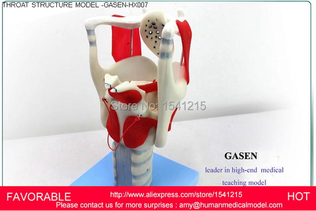 Aliexpress.com : Buy THROAT STRUCTURE FEATURES ,LARYNGEAL ANATOMY ...