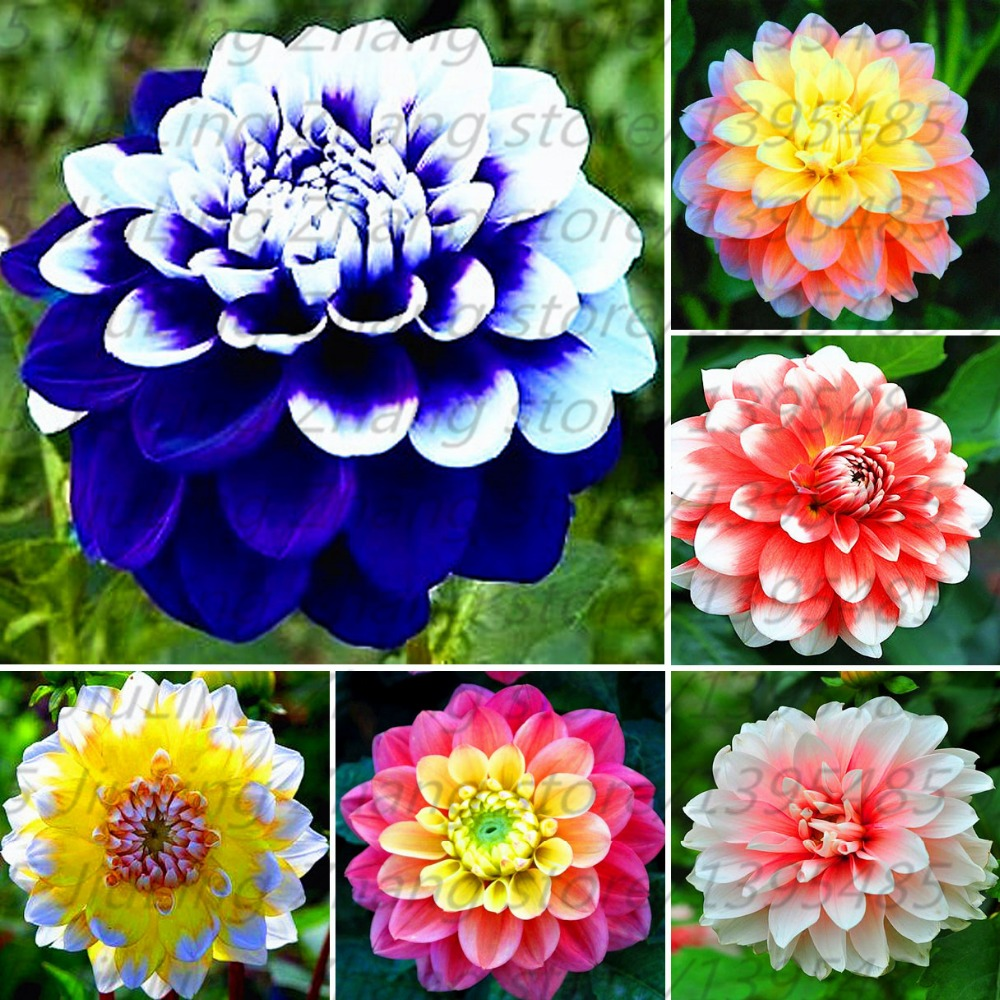 40 Pcsbag Dahlia Flower Bonsai Plant Bright Blue Dahlia Flowers