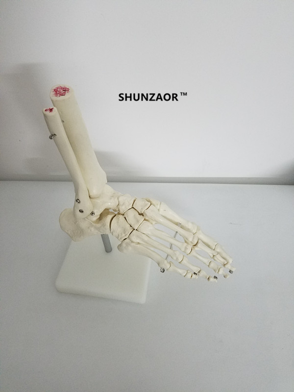 SHUNZAOR Life-Size Foot Joint Model Human Skeleton Model Human Foot & Ankle Model - Life Size Anatomical Skeletal Model