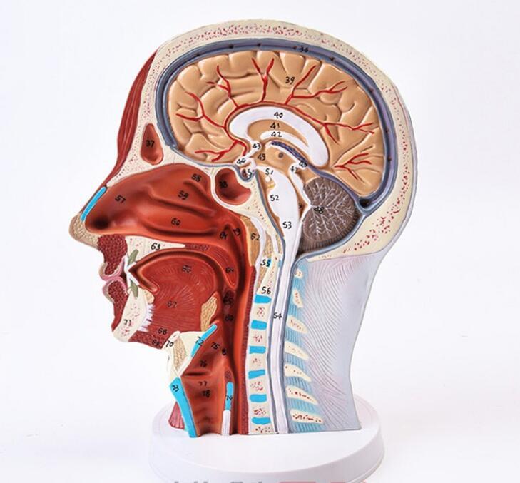 NEW Anatomical Skull Nerve Blood Vessel Head Viscera Medical model 56NEW Anatomical Skull Nerve Blood Vessel Head Viscera Medical model 56