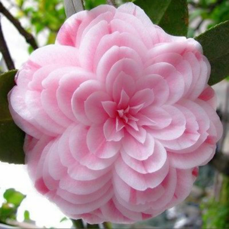 Free get 20 coupons 50 pieces bag Camellia seeds Camellia flowers seeds 24kinds color for chose