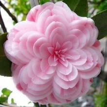Hot Sale 50 pcs bag Camellia plants home garden flowers bonsai rainbow color bonsai plants rare