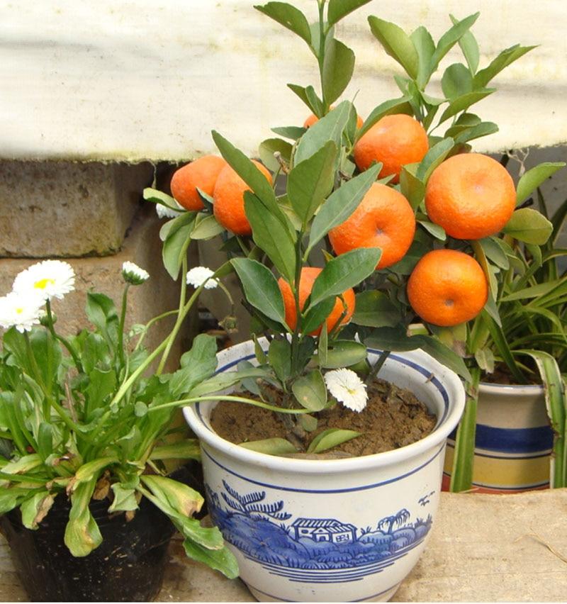 20pcs Edible Fruit Mandarin Bonsai Tree Seeds, Citrus Bonsai Mandarin Orange Seeds