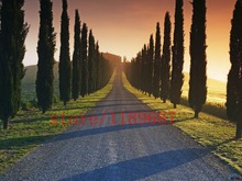 лучшая цена 100 pcs cypress Tree seeds ITALIAN CYPRESS (Cupressus Sempervirens Stricta) seeds Conifer seeds DIY home garden