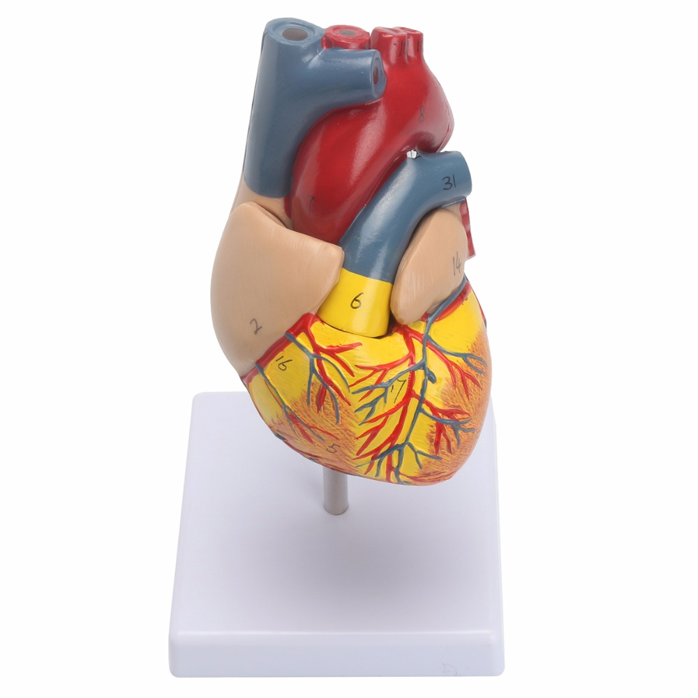 Anatomical Human Life Size Heart Model - Medical Cardiovascular Anatomy 21x11x11cm enovo1 1 hi q human heart anatomical model of the heart of the heart physician teaching tools