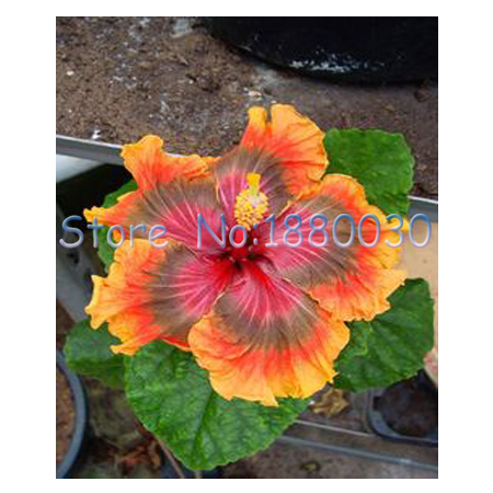 Kanto Style Japanese Hibiscus Flowers At Their Home DIY Potted Plants Or In The Yard 50PCS Bonsai From Garden On Aliexpress