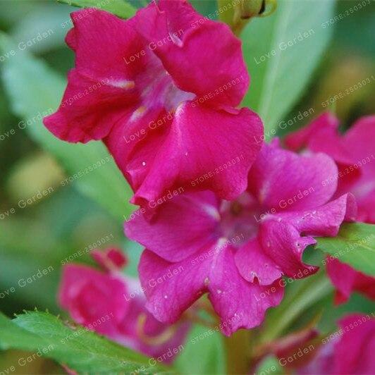 0 29 49 De Reduction Impatiens Balsamina Bonsai Jardin Balsam Bonsai De Fleurs Vivaces Bonsai Fleur Bonsai Pour La Maison Jardin Plantes 20