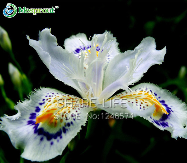 Anese Iris Onica Flowers Seeds White Orchid Rare Flower Easy To Plant