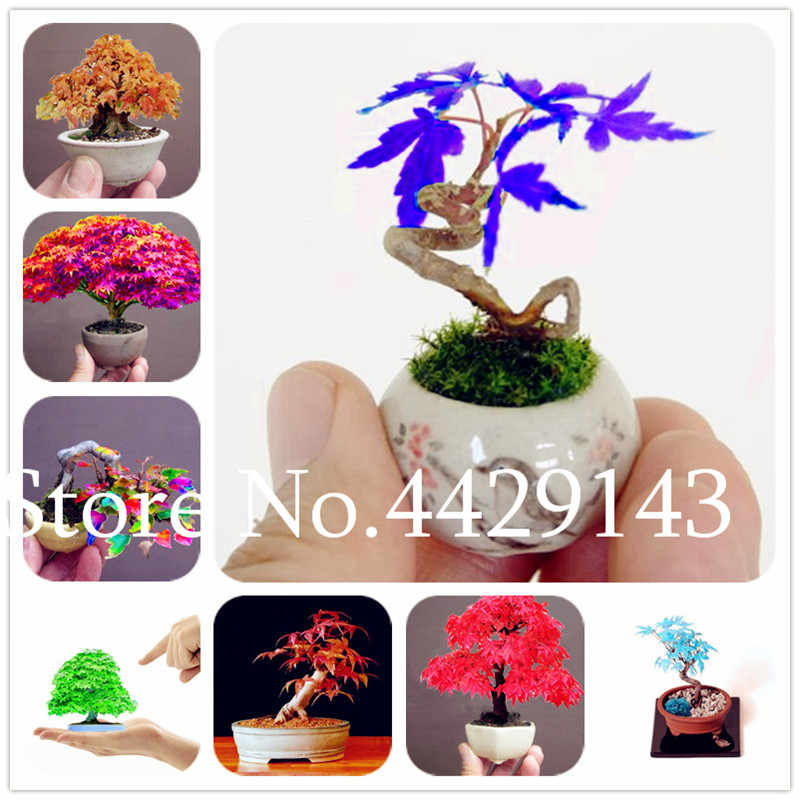 Hot Sale 20 Pcs Langka Jepang Mini Maple Bonsai, Kantor Desktop Hias Bonsai DIY Pot Tanaman, semenatsvety Abadi Taman