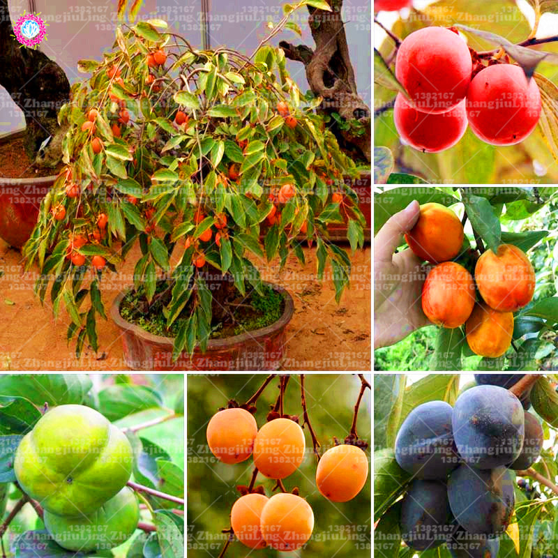 30pcs Persimmon Seeds Succulent Plants Non-GMO Fruit Trees Seeds Full Of Nutrition Home Garden Hardy Plants