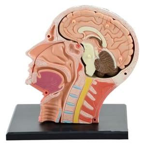 Image 4 - 4D ประกอบโครงกระดูกชุดกายวิภาคศาสตร์สมองจมูก Oral Pharynx Larynx Cavity รุ่น Anatomia ระเบิด Skull การศึกษาของเล่น