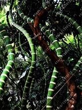 Bamboo seeds rare moso bamboo seeds Bambusa vulgaris 'Wamin' (Golden Bamboo; Buddha's Belly Bamboo) Perennial ornamental plants
