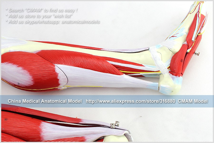 CMAM-TM6028 NEW LEG MUSCLE MODEL ANATOMY 23