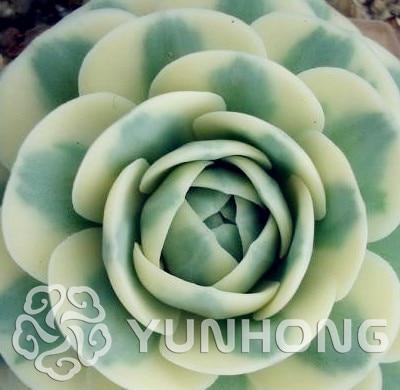 100pcs Orostachys.Iwarenge Calculus rarest succulent cactus seeds Lithops Seeds Bonsai Home & Gardern Free Shipping
