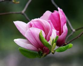 Magnolia flos க்கான பட முடிவு