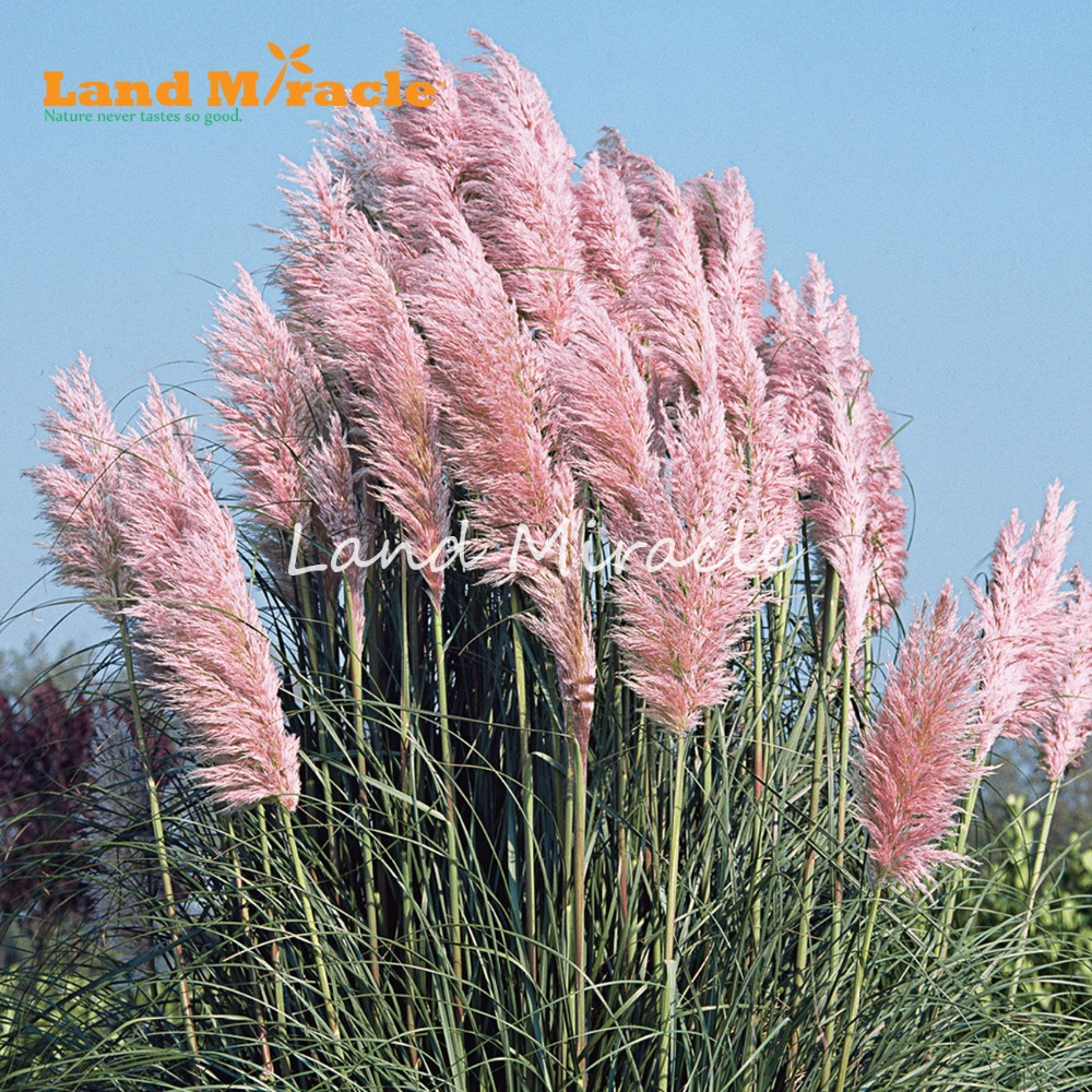 Medium Of Pink Pampas Grass