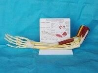 1:1 Life Size Anatomy Limb Muscle Arm Joint Ligament Function Model Bone Skeleton Medical Teaching Human Skeleton Toy