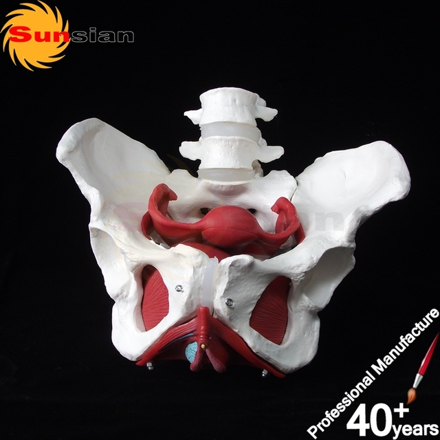 Female pelvic cavity with 2 lumbar vertebras