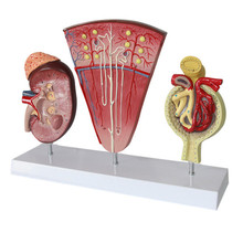В натуральную величину 3 шт почек и модель мочевыделительной системы надпочечной железа Nephron модель гломерулярной почечной анатомии модель почечного сечения