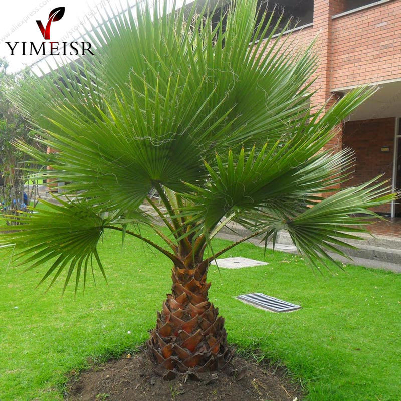 online buy wholesale plants palms from china plants palms wholesalers. Black Bedroom Furniture Sets. Home Design Ideas