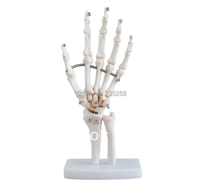 Life-Size Hand Joint, Hand joint simulation model life size hand joint with ligaments the palm of your hand with ligament model