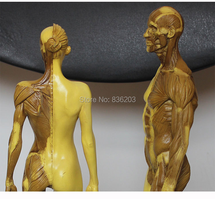 30cm L Human Anatomy Male Female Flesh Anatomy Comparative Resin Set