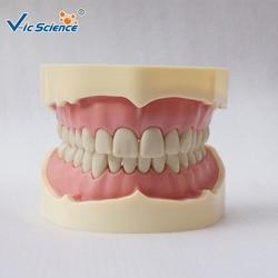 Медицинская наука имитирует Frasaco Стоматологическая модель зубов Модель