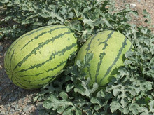 (Mix minimum order $5)1 original pack  25+pcs Watermelon fruit seeds,family Indoor balcony planting Potted fruits free shipping