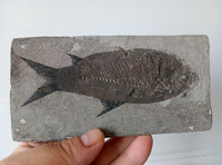 5.67 Hand Mined Boney Fish Fossil From The Green River Formation 169.0g
