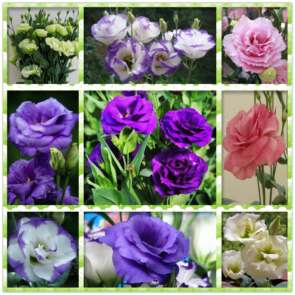Flowers eustoma. Growing eustoma at home 72