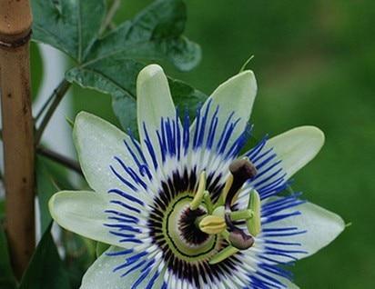 https://ae01.alicdn.com/kf/HTB1dX3rKpXXXXa2XXXXq6xXFXXXF/5-unids-lote-azul-flor-de-la-pasi%C3%B3n-parra-fruta-de-la-pasi%C3%B3n-planta-semillas-de.jpg