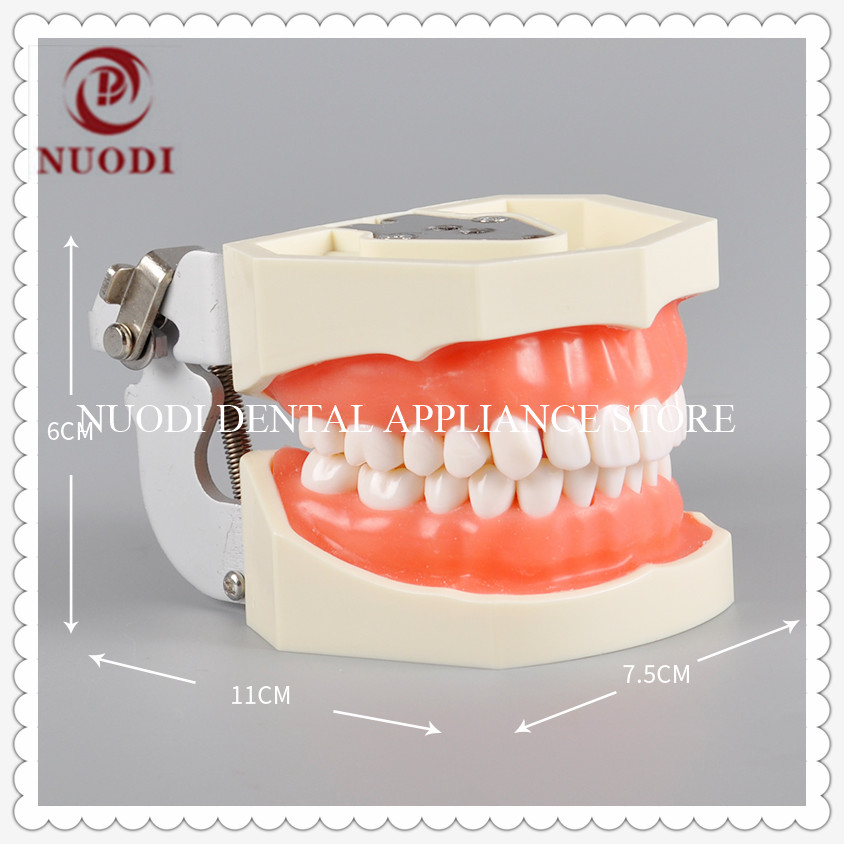 Soft Gum Standard Adult Dental Teeth Model M8011/Dental Leaning Teeth Model With 28pcs/Dental Practice Tooth Model