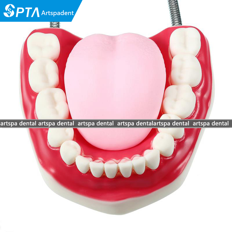 Large Dental Adult Teeth Model 6 Times Oral Models Tooth With Tongue For Kindergarten Child Early Teaching Study Health Care 2017 new arrival dental study tooth transparent adult pathological teeth model oral care