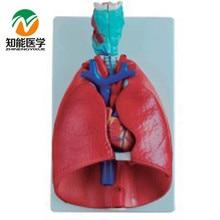 BIX-A1057 Throat Heart Lung Model WBW401