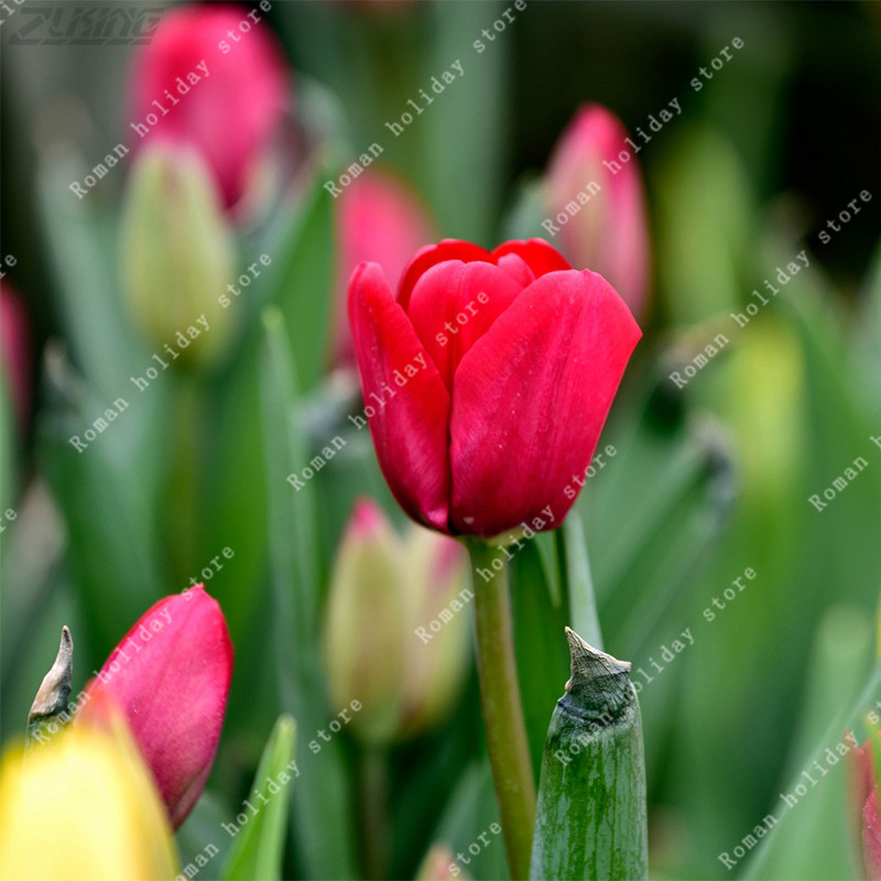 Zlking real red flower bulbs tulip bulbs beautiful pretty special zlking real red flower bulbs tulip bulbs beautiful pretty special fragrance exotic flowering plants romantic natural in bonsai from home garden on mightylinksfo