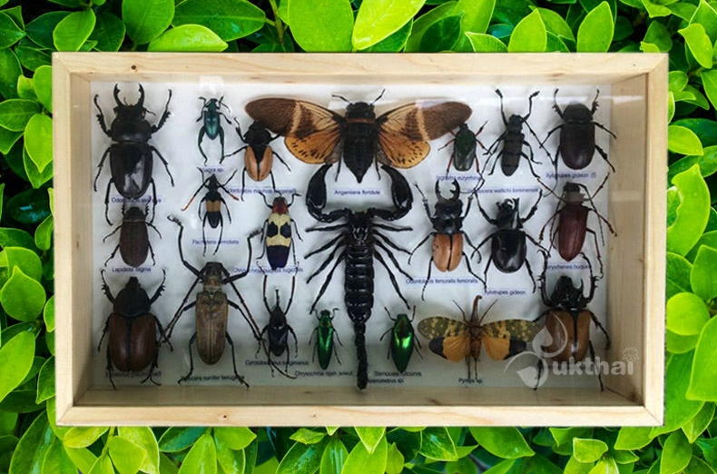 Southeast Asia insect specimens set wooden frame beetle Cerambycidae scorpion Chafer Lepidoptera