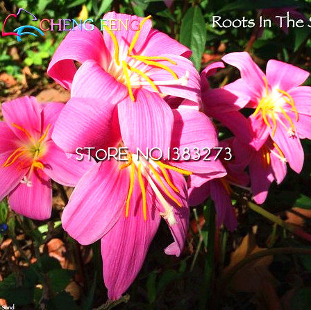 Online shop 30pcs pink rain lily seeds pretty flowers seed rare mini 30pcs pink rain lily seeds pretty flowers seed rare mini flores grass garden plants japan planter pot indoor outdoor bonsai mightylinksfo Image collections
