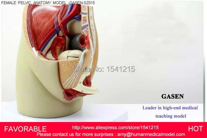 REPRODUCTIVE MODEL,FEMALE PELVIS ANATOMICAL REPRODUCTIVE ORGAN ANATOMY MEDICAL MODEL,FEMALE PELVIC ANATOMY MODEL-GASEN-SZ015 median sagittal of female pelvis female pelvic cavity model reproductive system anatomical model