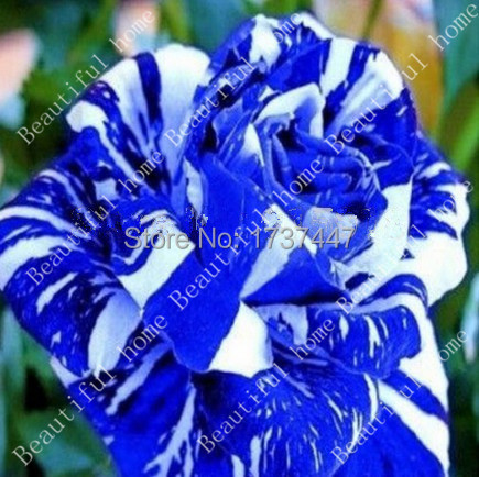 online get cheap blue exotic flowers aliexpress  alibaba group, Beautiful flower
