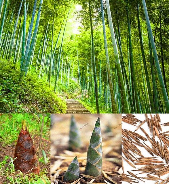 20 pcs de bambu moso sementes, plantas ornamentais Perenes, bambu ...