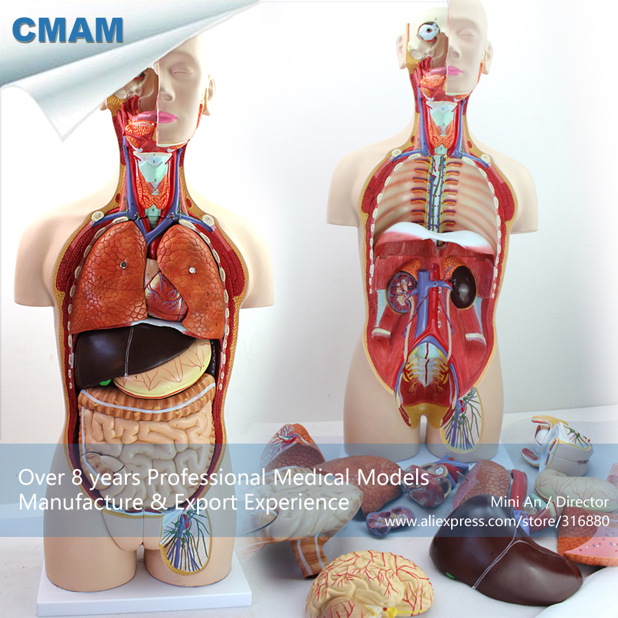 CMAM-TORSO02 Anatomical Model of 85CM Human Torso with Detachable Back ,Medical Science Educational Teaching Anatomical Models transparent torso with main neural and vascular structures model human torso model 53 points marked