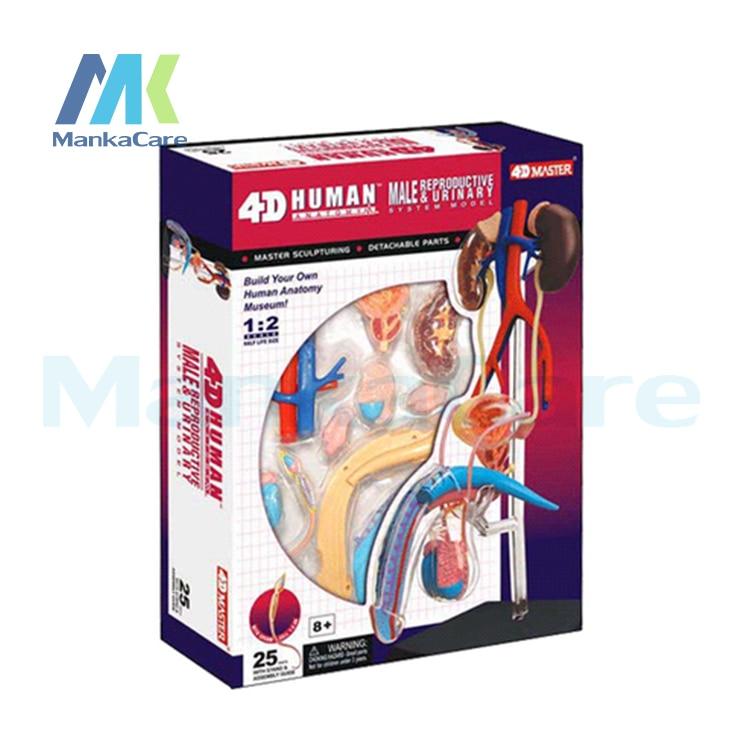 4D MASTER Human assembled model Male genitalia medicine Human male Repro Reproductive Urinary Anatomy Model mini human hand assembly model assembled human anatomy model gift for children