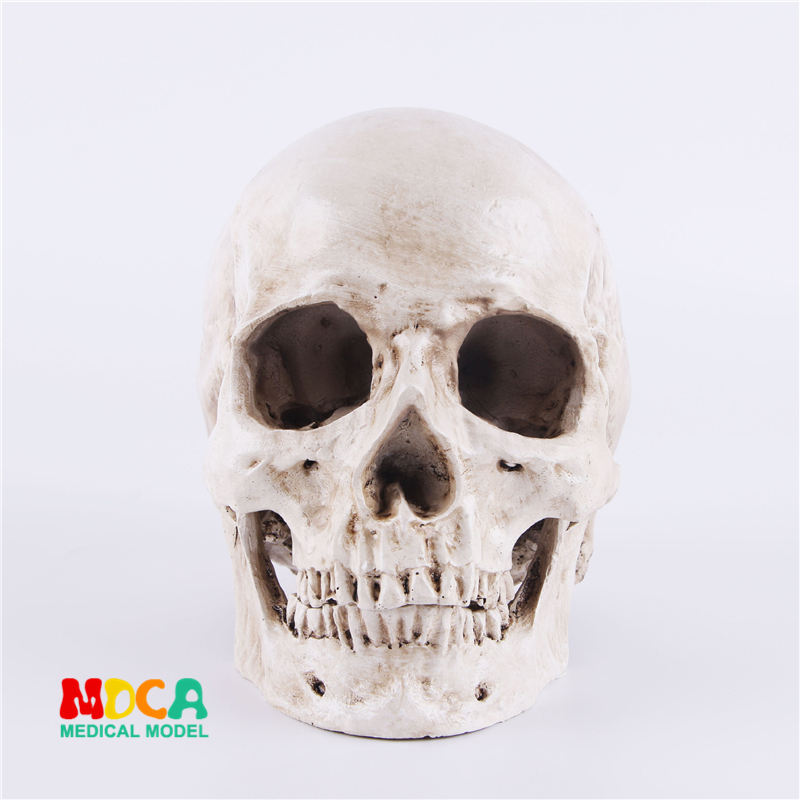 Human.skull model medical simulation teaching equipment resin skull Ornament Gift YTTG001Human.skull model medical simulation teaching equipment resin skull Ornament Gift YTTG001