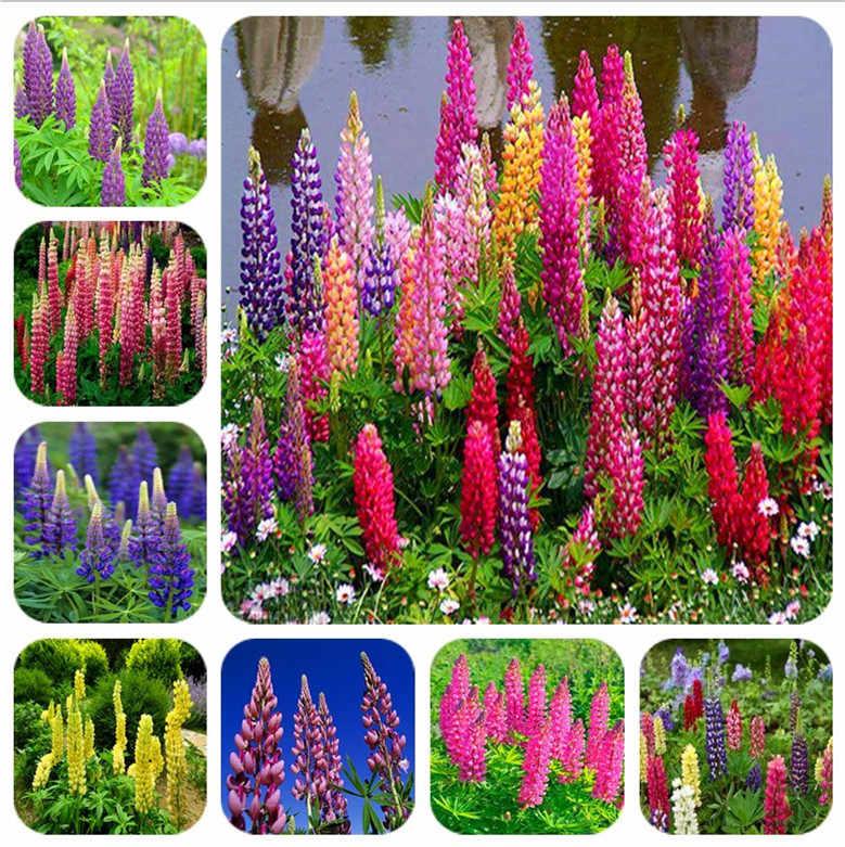 50 color mix tremoço flor bonsai bonsai plantas groundcover suculenta anual, plantas em vasos para casa garden frete grátis