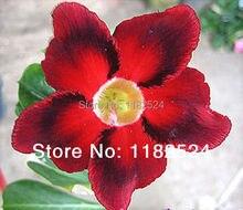 20 семена — свежий редкие » blooddiamond » Adenium Obesum семена — бонсай семена