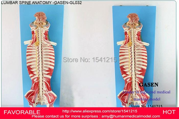 Nerve Model Spinal Ridge Lumbar Vertebra Anatomical Structure