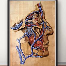 Анатомия человека, лицо кровеносного сосуда, анатомическая карта, классика, Insignia, холст, картины, винтажные настенные плакаты, наклейки, домашний декор, подарок
