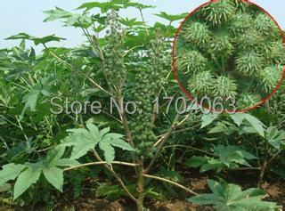 100pcs Wholesale 100 Authentic Castor Bean Seeds Drug Seed Rare Plants Bonsai Organic Seeds Bonsai Tree Seeds Sativabonsai Lowes Aliexpress
